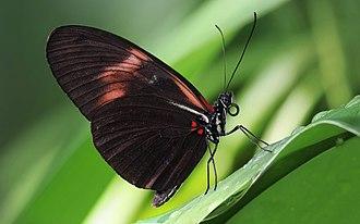 Evolutionary developmental biology - Image: Heliconius melpomene 2b Richard Bartz