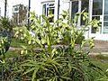 Helleborus foetidus - Flickr - peganum.jpg