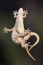 Hemidactylus frenatus mating, ventral view.jpg