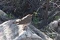 Hermit Thrush Guindani Trail Karchner Caverns AZ 2018-11-19 09-57-39-2 (44316562640).jpg