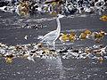 Heron at Calgary Bay (45135134585).jpg