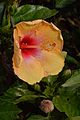 Hibiscus - Agri-Horticultural Society of India - Alipore - Kolkata 2013-01-05 2246.JPG