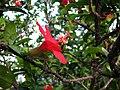 Hibiscus clayi (5112724869).jpg