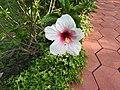 Hibiscus rosa sinensis hybrid-11-hanuman temple-muluvi-yercaud-salem-India.jpg