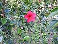 Hibiscus rosa sinensis hybrid-14-hanuman temple-muluvi-yercaud-salem-India.jpg