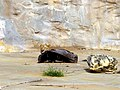 Hiding Lion (4148675039).jpg