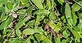 Hieracium pilosella in Jardin des 5 sens (1).jpg