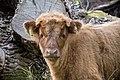 Highland cattle-6354 - Flickr - Ragnhild & Neil Crawford.jpg