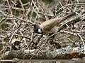 Himalayan Bulbul (Aves Tennantus) (32705470618).jpg
