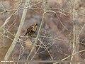 Himalayan Buzzard (Buteo refectus) (34082108876).jpg