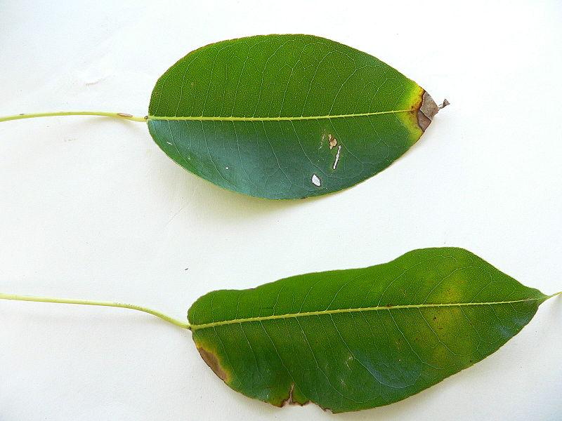 File:Hippomane mancenilla feuilles2.JPG