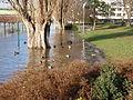 Hochwasser mit Enten P1100441.JPG