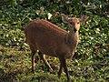 Hog Deer Kaziranga Tiger Reserve 03.jpg