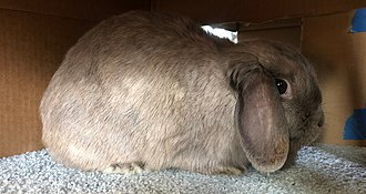 A Holland Lop hiding within a cardboard box. As a prey species, domestic rabbits often make use of hiding spaces to manage threats and relieve stress. Holland Lop Enclosure.jpg