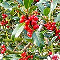 Holly Berries - after rain - geograph.org.uk - 1576358.jpg
