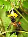 Honey Bee gathering pollen image by Dr. Raju Kasambe DSCN4801 (8).jpg