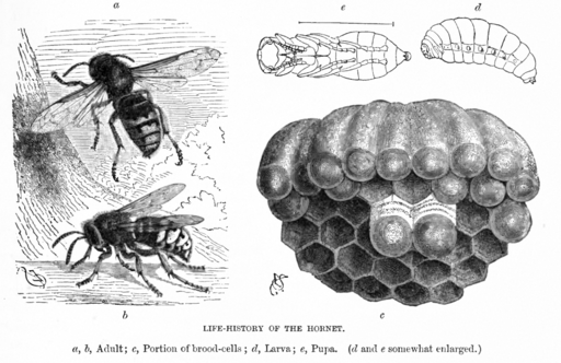 The life cycle of the hornet