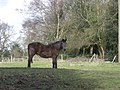 Horse in a field - geograph.org.uk - 706881.jpg