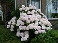 Hortensiia in bloei 3 - panoramio.jpg