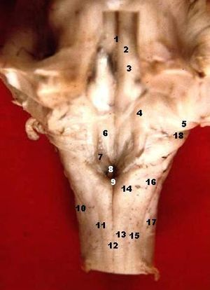 Area postrema - Image: Human caudal brainstem posterior view description