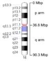 Human chromosome 16 - 550 bphs.png