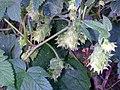 Humulus Japonicus female.jpg
