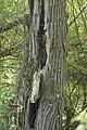 Humulus lupulus- liane vivace dans un arbre mort.jpg