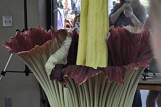 Huntington Library - Amorphophallus titanum at Huntington Library, August 24, 2014