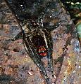 Huntman Spider (Sparassidae) (7839331068).jpg