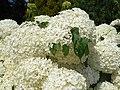 Hydrangea 2015-07-25 5217.jpg