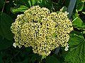 Hydrangea arborescens 002.JPG