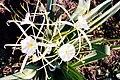 Hymenocallis occidentalis161739715.jpg