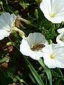 Hymenoptera auf Convolvulus arvensis.jpg