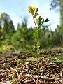 Hypericum humifusum sl10.jpg
