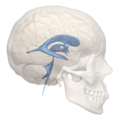Hypothalamic sulcus - 3rd ventricle - 02.png