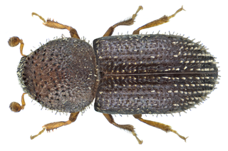 <i>Hypothenemus seriatus</i> Species of beetle