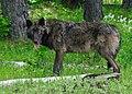 IMGP9557ce Mt Emily male wolf brown odfw (17106722310).jpg