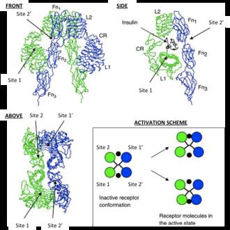 Insulin receptor - Scheme depicting possible IR binding sites
