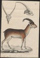 Ibex walie - met schedel - 1700-1880 - Print - Iconographia Zoologica - Special Collections University of Amsterdam - UBA01 IZ21300173.tif