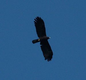 Black eagle - Flight silhouette showing narrowing at the base of wing