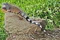 Iguana iguana Portoviejo 01 (cropped).jpg