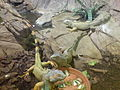 Iguanas in Mini Hollywood.jpg