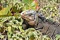 Iguane Petite-terre Guadeloupe.jpg
