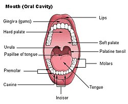 palatine tonsil - wikipedia, Human Body