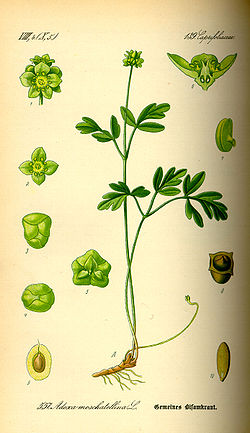 Illustration Adoxa moschatellina0.jpg