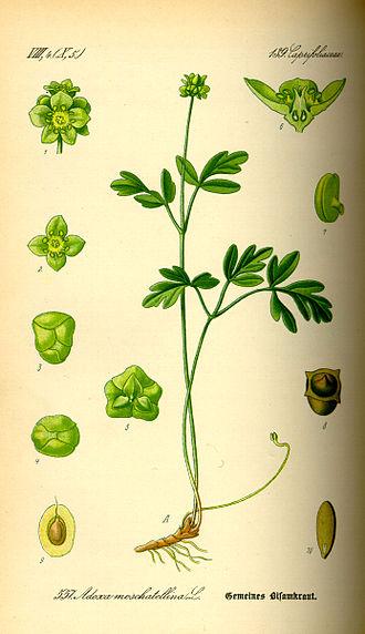 Adoxa moschatellina - Adoxa moschatellina from Thomé, Flora von Deutschland, Österreich und der Schweiz (1885)