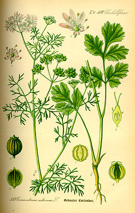 Illustration Coriandrum sativum0.jpg