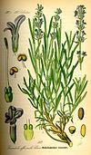 Illustration Lavandula angustifolia0