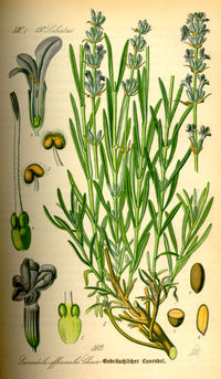 Illustration Lavandula angustifolia0