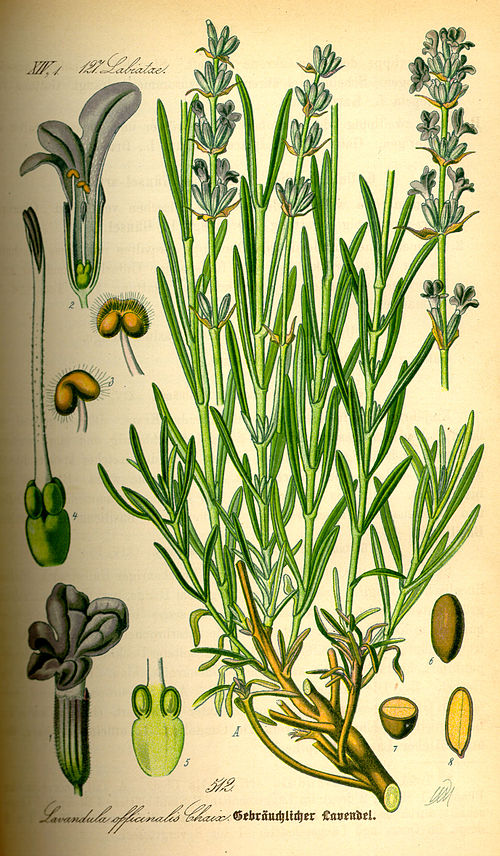 500px illustration lavandula angustifolia0